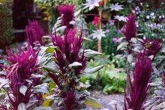 紫罗兰色植物在开花蓝色小时晚上的庭院里 图库摄影