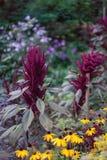紫罗兰色植物在开花蓝色小时晚上的庭院里 库存照片