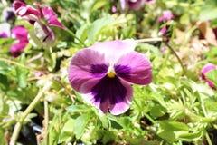 紫罗兰色植物 免版税库存照片