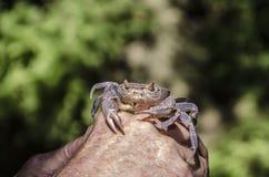 紫罗兰色河螃蟹拍摄了在手背景饲料的特写镜头 免版税库存照片