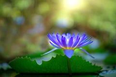 紫罗兰色泰国荷花或莲花 库存图片