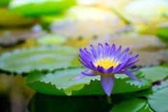 紫罗兰色泰国荷花或莲花 库存照片