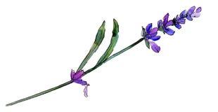 紫罗兰色淡紫色 花卉植物的花 被隔绝的野生春天叶子野花 库存照片