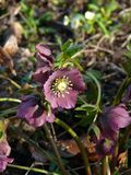 紫罗兰色牡丹 库存照片
