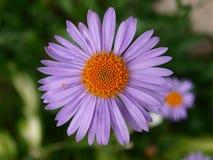 紫罗兰色玛格利特 免版税库存图片