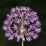 紫罗兰色球 免版税图库摄影