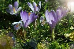 紫罗兰色番红花 库存照片