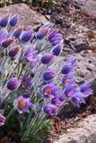 紫罗兰色白头翁属在背景中开花与岩石 库存图片