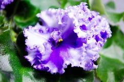 紫罗兰色白的紫罗兰被描述反对绿色叶子背景  卷曲紫罗兰 库存照片