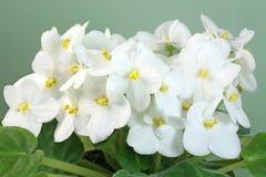 紫罗兰色白色 免版税库存照片