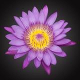 紫罗兰色百合   库存图片