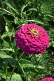 紫罗兰色百日菊属 库存照片