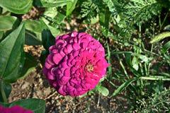 紫罗兰色百日菊属 免版税库存照片