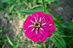紫罗兰色百日菊属 图库摄影