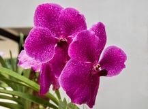 紫罗兰色的兰花 库存图片