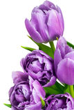 紫罗兰色的郁金香 库存照片