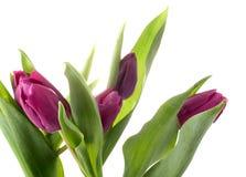 紫罗兰色的郁金香 库存图片