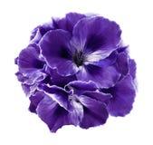 紫罗兰色秋海棠花束在白色的隔绝了与裁减路线的背景 没有阴影的特写镜头 库存图片