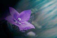 紫罗兰色紫色风轮草会开蓝色钟形花的草开花 库存照片