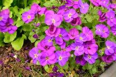 紫罗兰色美丽的花在庭院发光了在太阳 库存照片