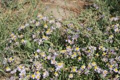 紫罗兰色翠菊开花 库存图片