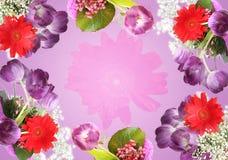 紫罗兰色背景的郁金香 免版税库存照片