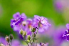 紫罗兰色胡麻flwoer 免版税库存图片