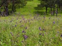 紫罗兰色花在草甸 免版税库存图片