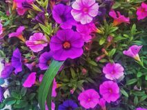 紫罗兰色花在那不勒斯 库存照片