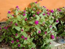 紫罗兰色花植物庭院 图库摄影