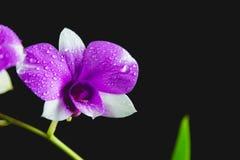 紫罗兰色花,在黑暗隔绝的紫色花 库存照片