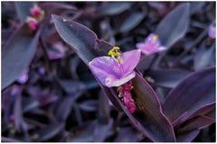 紫罗兰色花 免版税库存照片