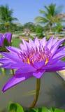 紫罗兰色荷花绽放在池塘 库存图片