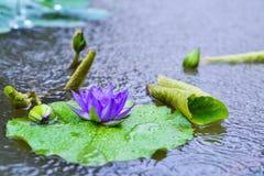 紫罗兰色荷花花在村庄池塘 库存图片