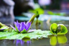 紫罗兰色荷花花在村庄池塘 免版税库存图片