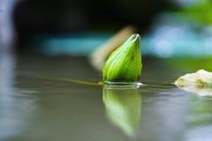 紫罗兰色荷花花在村庄池塘 免版税图库摄影