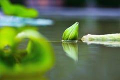 紫罗兰色荷花花在村庄池塘 图库摄影