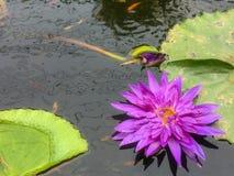 紫罗兰色莲花在有莲花叶子和逗人喜爱的小鱼的池塘 库存照片
