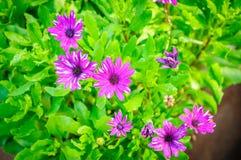 紫罗兰色菊花开花与在自然本底的黑暗的中心 免版税库存图片