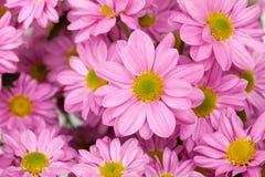 紫罗兰色菊花花 库存图片