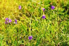 紫罗兰色蓝铃花风轮草rotundifolia花卉生长在绿色浪漫晴朗的草甸 在开花的野花在夏天草原 库存照片