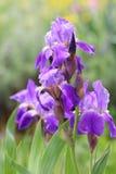 紫罗兰色虹膜花 免版税库存照片