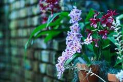 紫罗兰色蝴蝶花花,中提琴特写镜头三色在春天 免版税库存图片