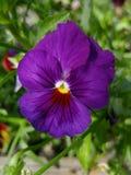 紫罗兰色蝴蝶花 库存图片