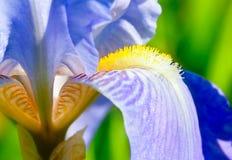 紫罗兰色通配的接近的虹膜 免版税库存照片