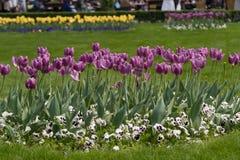 紫罗兰色郁金香的领域 新鲜的紫罗兰色郁金香 库存照片