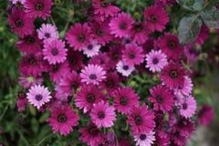 紫罗兰色雏菊 免版税库存照片