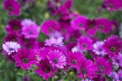 紫罗兰色雏菊 免版税库存图片