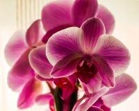 紫罗兰色颜色国内兰花  免版税库存照片