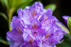 紫罗兰色颜色花-特写镜头,宏指令 免版税库存图片